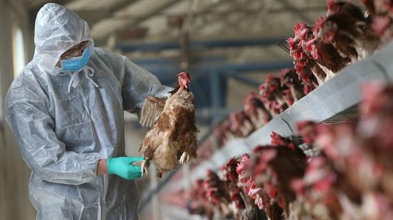 курицы на фабрике